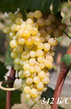 Очень ранний. Ягода мелкая, кожица тонкая, грозди до 0,8 кг. Один из самых лучших по вкусу бессемянных сортов, урожайный, рудименты( зачатки семян )практически не ощущаются. класс бессемянности 2, урожаем не нормируется(оставляются все грозди)