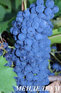 Ранне-средний. Средняя масса грозди 200г., ягоды 3 грамма. Отдельные грозди могут быть массой до 400 г, по форме конические. Цвет ягод – темно-синие. Красивый темно-рубиновый цвет сока . Сахаристость сока около 22%. Морозостойкость до минус 25˚С. Хорошая устойчивость к грибковым болезням . Пригоден для изготовления домашних вин и соков красивого рубинового цвета.