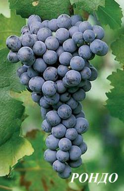 Ранний. Ягоды черные округлые, с прочной кожицей. Сахаристость 19-21%, кислотность 9-10 г/л. Требуется своевременный сбор, хотя ягоды устойчивы к загниванию, но при задержке могут усыхать и опадать. Сорт винограда Рондо повышенно устойчив к милдью, морозоустойчивость -24°С. Урожайность средняя, опыляется хорошо. Вина из Рондо хорошего качества, глубоко окрашены, высококислотны, с характером Мерло. Лучше удаются при длительной выдержке в бочках.