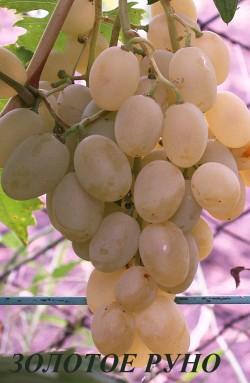 Ранний.Гроздь крупная, конической формы, средней плотности.Ягоды крупные, яйцевидные или овальные, размер ягод до 32х25мм. Окраска зелёно-жёлтая. Мякоть мясисто-сочная, приятного сортового вкуса, при полном созревании очень приятный лёгкий мускат. Кожица ягод тонкая, при еде не ощущается. Осами не поражается. Морозостойкость до -22-230С.Устойчивость к болезням выше средней.