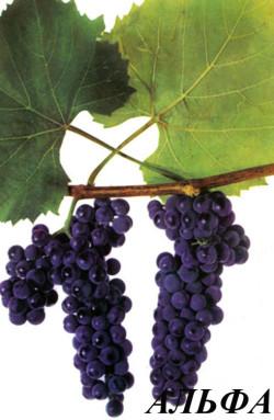 Средний. Грозди средние, цилиндрические. Масса средней грозди 120 г, наибольшей 220 г. Ягоды средние, округлые, черные с красновато-бурым или фиолетовым оттенком, покрыты обильным восковым налетом. Мякоть слизистая с выраженным «изабельным» привкусом Сахаристость 15-17%, кислотность 20-27г/л,.Кусты сильнорослые. Морозоустойчивость высокая – 35С. Сорт мало поражается грибными болезнями. Пригоден для озеленения беседок, стен, балконов. Аромат вин, произведенных из ягод сорта Альфа, наполнен тонами сухофруктов, дерева, яблок и меда, характерна высокая кислотность.