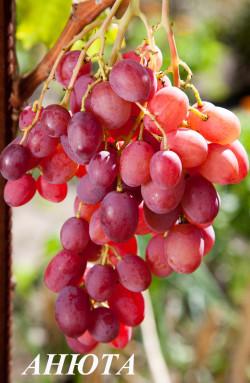 Ранне-средний. Ягода очень крупная, овальная, мясистая, мякоть плотная мускатного вкуса, грозди до 1 кг. Сорт высокоурожайный.