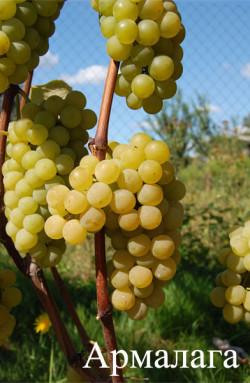 Ранне-средний. Средний размер грозди 400 г, ягода средняя. Мякоть сочная, светло-зеленая, волокнисто-слизистая.Сахаристость 19-22 г/100 см3, кислотность 8-9 г/дм3. Сорт не повреждается грибковыми заболеваниями, возделывается в неукрывной культуре. Используется для потребления в свежем виде, приготовления компотов, варенья.