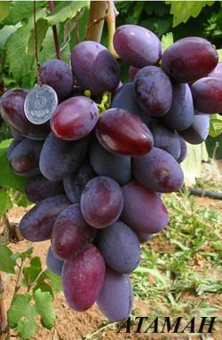 Ранне-средний. Средняя масса грозди 600-800 г, отдельные до 1,5 кг. Ягоды крупные и очень крупные (массой 12–16 г), удлиненно–овальные, красно–фиолетовые или темно–фиолетовые на солнце.Мякоть мясисто–сочная. Вкус приятный, гармоничный. Морозоустойчивость до –24 °С, требует укрытия на зиму. Устойчивость к грибным болезням средняя. Транспортабельность высокая.