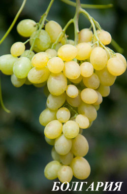 Ранний. Ягода крупная, янтарная, превосходный мускат, гроздь до 1 кг. Сорт урожайный, имеет хорошую устойчивость к заболеваниям.
