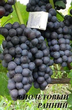 Ранний. Универсальный. Средняя масса грозди 150 г. Ягода средней величины, округлая, фиолетово-синяя с голубовато-серым восковым налетом. Кожица прочная. Очень урожайный Сорт устойчив к милдью и серой гнили ягод, поражается оидиумом. Отличается повышенной устойчивостью к морозам (-28°С). Мякоть сочная, очень приятного вкуса с оригинальным мускатным ароматом и приятными тонами чайной розы.