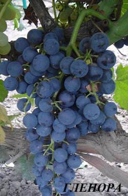 Средний. Кусты сильнорослые. Цветок у  винограда обоеполый. Грозди крупные. Ягоды  средние, округлые сине-черные, весом 2-3 гр,. Мякоть тающая, сладкая, хорошего вкуса. При полном созревании появляется привкус смородины и черники. Морозоустойчивость -26°С, сорт устойчив к грибным болезням, филлоксере. Хорош на арочных формировках.