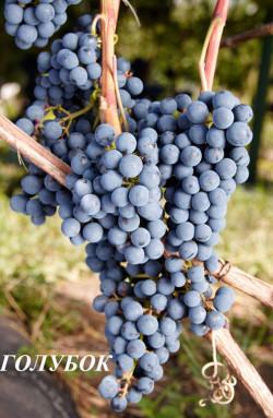 Ранний. Ягода средняя, высокосахаристая, гроздь до 0,2 кг. Технический сорт для приготовления высококачественных соков и вина, в том числе и «Кагора», сок окрашен. Вкус простой, приятный, с тонами черной смородины и мака.Сахаристость 22-23 г/100 мл, кислотность 6-8 г/л. Можно использовать как краситель.