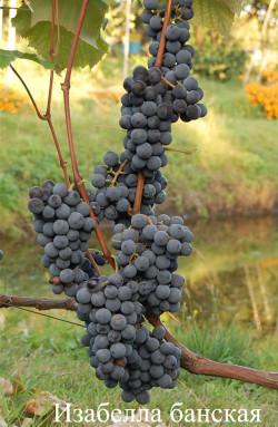 Ранне-средний. Столово-технический (часто применятся для озеленения) сорт винограда. Кожица толстая, прочная. Мякоть слизистая, с сильно выраженным земляничным ароматом. Сорт неукрывной, очень устойчивый к болезням.