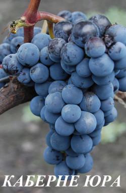 Ранний. Гроздь средняя, массой 250 г. Ягода средняя, округлая, весом 2 г. Отличается повышенной устойчивостью к заболеваниям. Морозоустойчивость до -27°С. Вино получается темно-рубинового цвета, с ароматом ягод ежевики.