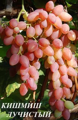 Ранне – средний. Высококачественный бессемянный высокоурожайный сорт винограда. Ягоды средние и крупные, золотисто-розового и розово-красного цвета, удлиненные, массой 2,5 - 4,0 г. Мякоть плотная. Вкус прекрасный, гармоничный, с легким мускатным ароматом. Масса грозди 500-2000 грамм. Морозостойкость -20С. Транспортабельность хорошая. Устойчивость к болезням ниже среднего. Требователен к уровню агротехники и грамотности виноградаря.