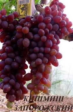 Ранний. Грозди крупные и очень крупные 600-2000 г конические, часто с крылом, средней плотности. Ягоды массой 2-2,5 г, овальные, темно-красные или темно-фиолетовые, гармоничного вкуса, мясисто-сочные. Класс бессемянности III-IV. Устойчивость сорта винограда к болезням повышена. Очень неприхотливый сорт с высочайшей урожайностью. Морозостойкость повышенная -26..27°С.