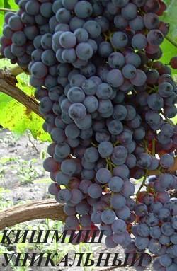 Средний. Грозди средние, ветвистые, ширококонические, среднеплотные 300-500 г. Ягоды мелкие, округлые, черные, мясисто-сочные. Сахаристость до 25%, кислотность 4-6 г/л. Семян нет (IV класс бессемянности). Кишмиш уникальный очень урожайный сорт винограда. Но надо обязательно нормировать урожай, сильно перегружается. Сильнорослый, вызревание лоз хорошее. Сахаристость до 25%.Зимостойкость хорошая, к грибным болезням неустойчив. Виноград используется в свежем виде, для сушки и приготовления вина.