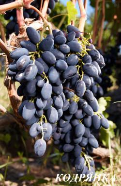 Ранний. Ягода очень крупная, овальная, красивая, мякоть плотная, хрустящая, высоких вкусовых качеств, грозди до 0,6 кг. Сорт урожайный, отзывчив на удобрения и подкормки.