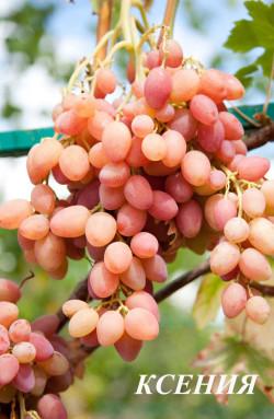 Очень ранний. Ягода овальной формы, очень красивая и крупная. грозди до 2 кг, мякоть плотная хрустящая, очень высоких вкусовых качеств.