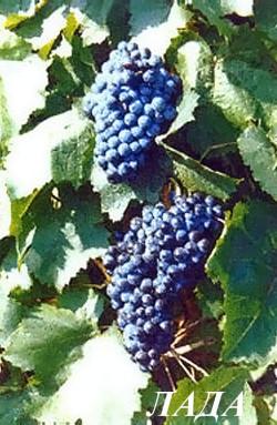Ранне-средний. Грозди крупные, цилиндро-конические, умеренной плотности. Ягоды средние, округлые, темно-синие. Вкус гармоничный, мякоть мясисто-сочная, сок неокрашен. Сахаристость ягод - 23-24 г/100 см3, кислотность - 7-8 г/дм3.Кусты сильнорослые. Урожайность винограда Лада достаточно стабильная и высокая. Устойчивость к заболеваниям средняя. Морозоустойчивость – 26 С.
