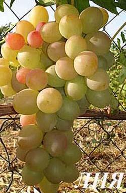 Ранний. Очень сильнорослый. Ягоды жёлто - розового цвета, от овальной до яйцевидной формы, весом 8-14 грамм. Мякоть ягод плотная, гармоничного вкуса, хрустящая. Грозди крупные, около 1 кг. Морозостойкость -21..22С. Урожайность очень высокая.