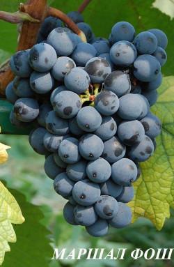 """Ранне-средний. Грозди и ягоды мелкие, ягоды синие, округлые. Урожайность средняя. Морозоустойчивость -28 °С. Устойчив к милдью, оидиуму. Из Маршал Фош производят высокачественные, легкие фруктовые красные и розовые столовые вина. Вина хорошо окрашены, сортовые, с """"бургундским"""" характером."""