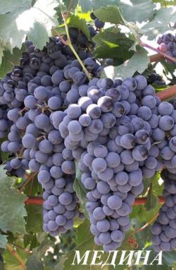 Средний. Масса грозди 160-180 г, ягоды – 1,3-1,7 г. Кусты выше средней силы роста. Интенсивное сахаронакопление 20-24 г/100 см3. Медина имеет повышенную устойчивость к милдью, оидиуму, филлоксере, бактериальному раку, обладает высокой регенерационной способностью. Морозостойкость до -25 °С. Сухие вина из сорта Медина отличаются эффектной темно-малиновой окраской, своеобразным сортовым ароматом с легким мускатным оттенком.