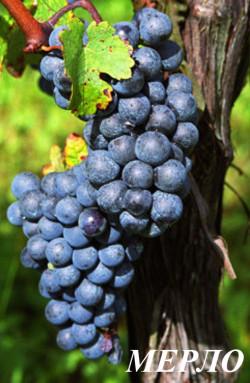 Гроздь средней величины , цилиндро-коническая, иногда крылатая, среднеплотная. Масса грозди 113-150 г. Ягода средней величины, округлая, черная с обильным восковым налетом. Мякоть сочная, с бесцветным соком. Кожица прочная. Вкус гармоничный, с пасленовым привкусом. Сахаристость 19—22%, кислотность 5—7 г/л.Урожайность высокая и устойчивая. Характеризуется относительной устойчивостью к милдью, серой гнили и морозам, неустойчив к оидиуму. Вина отличаются интенсивной окраской, полнотой, гармоничным вкусом и своеобразным букетом. Молодым винам из мерло свойственны аромата  красных ягод (клубника, малина), а зрелым винам – нотки чернослива, фиалки,  пряностей (ванили), кожи и лесной поросли.