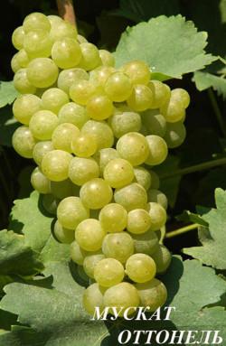 Ранне-средний. Масса грозди 100 г. Ягода средней величины (2-3 гр.), почти круглая. Кожица прочная, мякоть сочная.Сахаристость сусла 16-21,9 г/100 мл, кислотность 3,8-7,2 г/л. Виноград используют для приготовления купажных, полусладких вин и соков, а также потребления в свежем виде. Вина стабильные по качеству, с умеренно выраженным тонким мускатным ароматом и медовыми тонами.