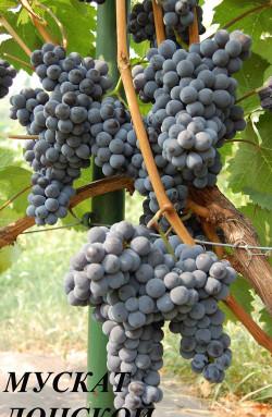 Очень ранний. Ягода среднего размера, грозди до 0,3 кг. Сахаристость 30 %, кислотность 6,7 г/л.Сорт Мускат донской среднеустойчив к морозу и грибным болезням. Технический сорт для приготовления высококачественных соков и вина, сильный мускат с ароматом чайной розы, урожайный.