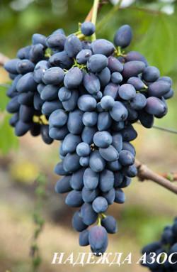 Ранне -средний. Ягода очень крупная, красивая, удлиненной формы, грозди до 3 кг, мякоть хрустящая, высоких вкусовых качеств. Один из лучших темных сортов по всем показателям, очень урожайный.