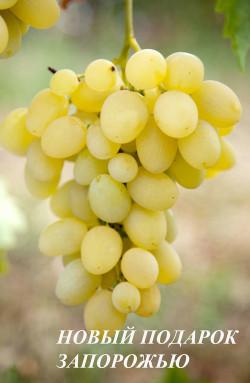 Ранний. Ягода крупная, овальная, грозди до 0,7 кг. Сорт высокоурожайный, имеет хорошую устойчивость к грибковым заболеваниям.