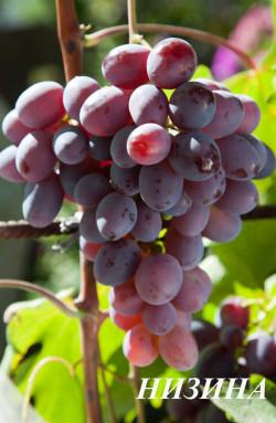 Ранне -средний. Ягода очень крупная, овальная, грозди до 1,5 кг. Сорт очень урожайный, имеет хорошую устойчивость к милдью, но нужно обратить внимание на профилактику от оидиума.