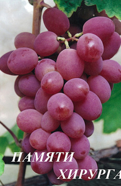Ягоды розовые, крупные (8-10 г). Отдельные ягоды достигают веса 20гр. Мякоть среднеплотная, мясисто-сочная, приятного сортового вкуса. Кожица средней толщины, при еде не ощущается. Сахаристость до 18-22%. Грозди массой 500-800 г. Морозоустойчивость -25°С. Устойчивость к заболеваниям повышенная.