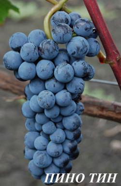 Ранний. Грозди средней массой 150 г. Ягода средняя, 2-3 г., округлая, черная, с интенсивным пруином. Устойчивость к болезням повышенная. Из этого сорта получаются прекрасные вина типа Пино Нуар, рубиново- красного цвета. Вкус мягкий, с ароматом вишни.
