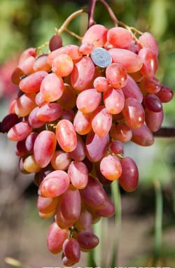 Ранний. Ягода очень крупная, очень красивая, мякоть плотная хороших вкусовых качеств, грозди до 2 кг. Один из самых перспективных сортов, высокоурожайный.