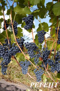 Ранний. Ягода средних размеров, высокосахаристая, гроздь до 0,3 кг. Технический сорт для приготовления высококачественных соков и столового вина типа «Каберне», иногда используют как столовый сорт. Хорошая устойчивость к милдью и морозам (до -27С). Вина из него имеют приятный цвет, плодовые тона во вкусе.