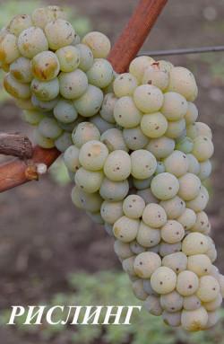 Средний. Грозди средней массой 100 г. Ягода средняя, 2-3 г., округлая. Морозоустойчивость до -26°С. Сорт винограда Рислинг неустойчив к оидиуму, но милдью поражается в меньшей степени, чем другие сорта.Сахаристость18-22% при кислотности 6,5—10 г/л. Вина из Рислинга отличаются особой тонкостью и изысканностью. Имеют элегантный и изящный букет с деликатными фруктовыми (лимон, грейпфрут, персик, груша, сухофрукты…) и цветочными (белые цветы, липовый цвет, …) ароматами, а также пикантными нотками аниса, тмина, лакрицы и укропа.