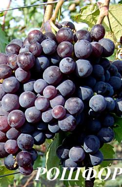 Очень ранний. Ягода крупная, легкий мускат, мякоть плотная, грозди до 0,8 кг. Сорт урожайный, имеет хорошую устойчивость к милдью.