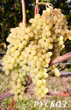 Ранний. Ягода мелкая, имеет сортовой вкус, грозди до 2,5 кг, рудименты присутствуют. Универсальный кишмиш, суперурожайный. Класс бессемянности 4. Хорошая устойчивость к грибковым заболеваниям. Обязательна нормировка урожаем, как можно раньше.