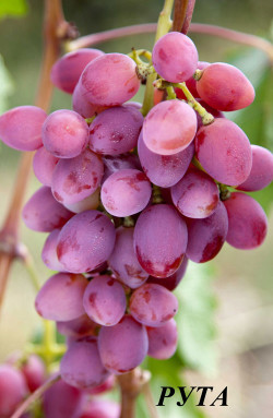 Очень ранний. Ягода очень крупная, овальная, грозди до 0,7 кг. Мякоть плотная, высоких вкусовых качеств.