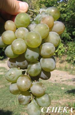 Изабельный сорт винограда, универсального назначения. Сила роста большая. Гроздь средняя или довольно  крупная. Ягода крупная, овально-продолговатая, светло-зеленая с желтоватым оттенком. Мякоть слизистая, с изабельным вкусом. Вкус очень приятный, гармоничный, что выгодно отличает Сенеку от других неукрывных сортов. Урожайность высокая. Сорт винограда Сенека устойчив к грибным болезням. Используется для потребления в свежем виде.