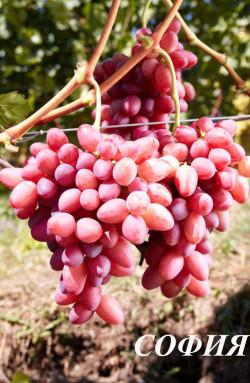Ранний. Ягода очень крупная, красивая, яйцевидная, мякоть плотная, грозди до 2 кг. Очень урожайный, с функционально женским типом цветка, опыляется хорошо. Стоит прореживать ягоды в грозди. Имеет пониженную устойчивость к милдью.