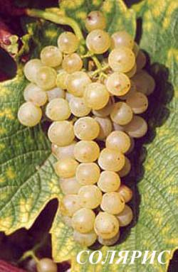 Очень ранний.Кусты сильнорослые. Грозди средние, относительно рыхлые. Ягода средняя, белая, округлая. Сорт с высоким сахаронакоплением, при этом кислотность снижается медленно, что хорошо сказывается на балансе вина. Сахаристость  22-30 %. Довольно устойчив к милдью и оидиуму.Из Соляриса приготовляют белые вина высокого качества, с фруктовым букетом, тонами, напоминающими ананас и лесной орех, полнотелые и скорее, нейтральные во вкусе, крепкие, часто с остаточным сахаром. Удачными могут быть смеси с менее сахаронакопительными сортами. Может употребляться в свежем виде.