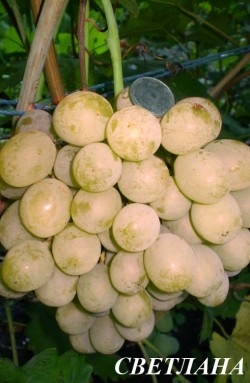 Ранне - средний. Грозди средней плотности, , средним весом 800-1200 г. Тип цветка функционально-женский, но опыляется очень хорошо, Ягоды очень крупные 14-16,отдельные - 20-25 г, белые, гармоничного вкуса, с легким мускатным привкусом. Мякоть мясисто-сочная. Имеет в меру плотную, но хорошо съедаемую кожицу. Семян 1-3. Урожай на кустах сохраняется долго Практически не повреждается осами. Сорт к почвам не требователен. Устойчивость к морозу -25°С. Устойчив к милдью, серой гнили.