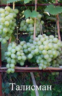 Ранне - средний. Ягода очень крупная, до 25 г, грозди до 2,5 кг. Сорт очень сильнорослый. рекомендуемая длина куста – до 6 м(арки). Имеет высокую устойчивость к милдью. Цветок функционально женский. При наличии сортов опылителей опыляется хорошо.