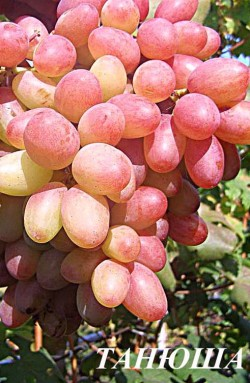 Ранний. Грозди очень крупные, массой 700 - 2500 гр. Ягоды очень крупные, до 20 грамм, а размер до 32х26. Спелые ягоды имеют розово-сиреневый цвет. Кожица средней толщины, которая не ощущается при еде, а мякоть имеет среднюю плотность и приятный сортовой вкус. Сорт дает стабильный урожай. Имеет повышенную устойчивость к милдью, серой гнили и оидиуму.
