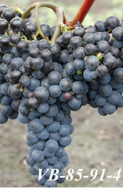 Ранний. Ягода средняя, средний размер грозди 150 г. Технический сорт для приготовления высококачественных соков и темно-окрашенного столового вина.