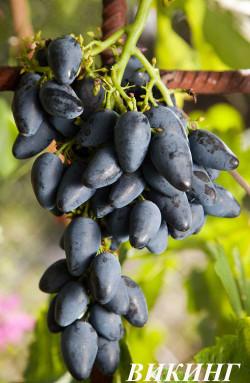 Очень ранний. Ягода очень крупная, удлиненная, типа пальчиков, гроздь до 0,4 кг. Урожайность средняя, вкусовые качества отличные. При обрезке плодовой стрелки рекомендуется оставлять не менее 12 глазков.