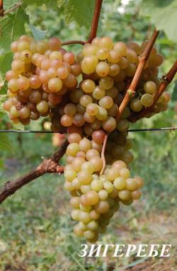 Очень ранний. Средний размер грозди 250 г, ягода средняя, сочная с легким мускатным ароматом.С высоким накоплением сахара. Технический сорт для приготовления высококачественных соков, столового вина.